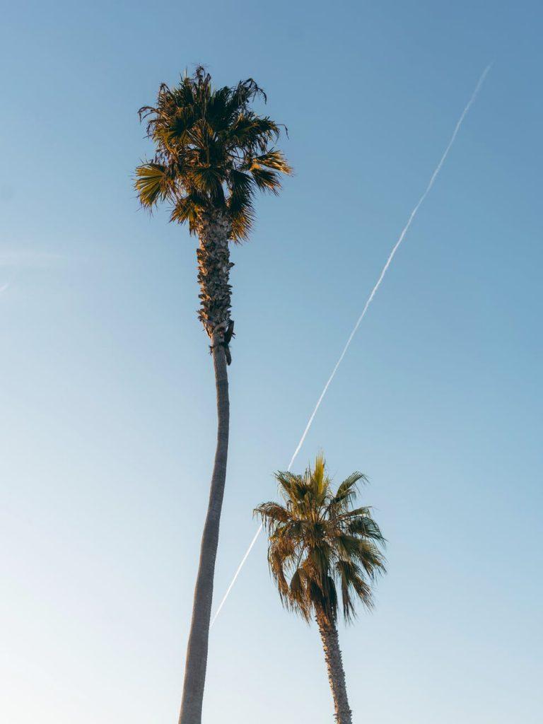 palmiers - installer en guadeloupe