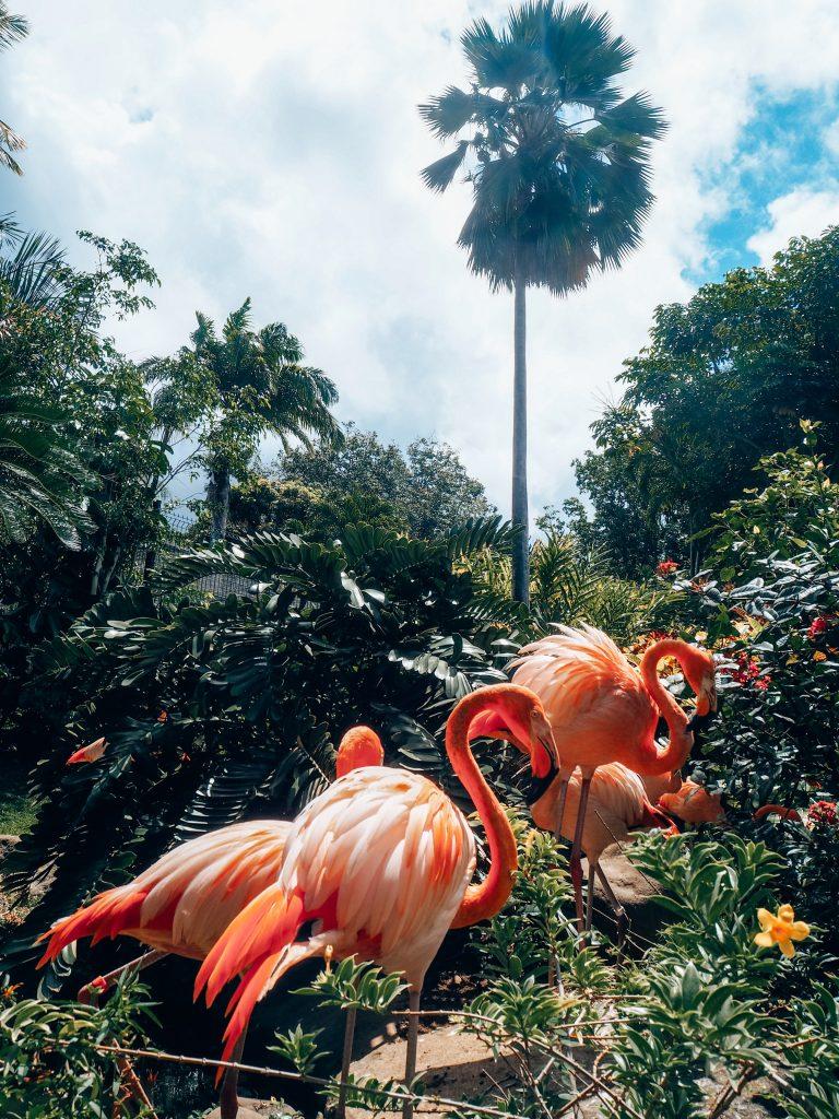 Flamants roses - Jardin botanique de deshaies