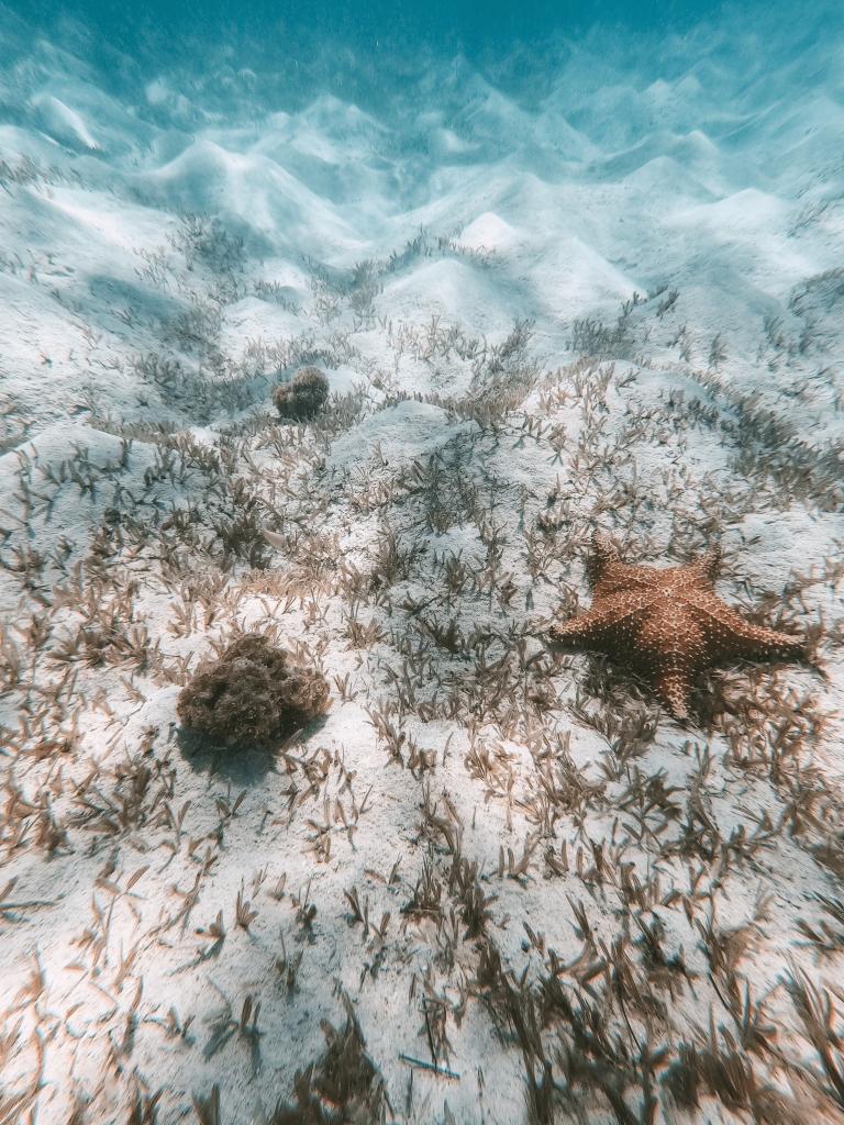 étoiles de mer dans le Grand cul-de-sac marin